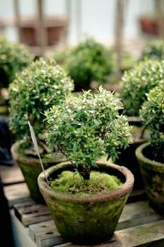 Vintage French Soul ~  Topiary in mini moss covered pots is so sweet and lovely.