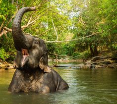 Elephant Jungle Sanctuary is an ethical and sustainable eco-tourism project located approximately from the city of Chiang Mai, Northern Thailand. Bali Elephant, Happy Elephant, Asian Elephant, Elephant Love, Elephants Playing, Jungle Life, Thailand Elephants, Northern Thailand, Jungle Animals