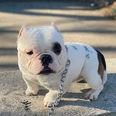 Funny Animal Videos, Cute Funny Animals, Cute Baby Animals, Animals And Pets, Really Cute Puppies, Cute Baby Dogs, Cãezinhos Bulldog, Bully Dog, Funny Cats And Dogs