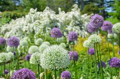 Allium Ornamental On