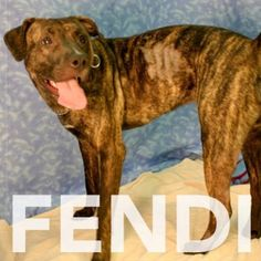Fendi is a 1 year old female terrier/pit bull mix looking for a forever home. Meet her at RAS at 184 Verona St.