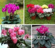 Hot Sale 16 Colors Can be Choose Cyclamen Flower Seeds Perennial Flowering Plants Cyclamen Seeds  100 PCS -- See this great product.(This is an Amazon affiliate link and I receive a commission for the sales)
