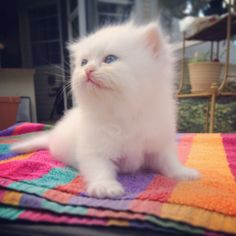 For Sale: Ex Small  ( Teacup/Toy ) White Doll Face Kitten with Blue Eyes Male Ready to go: 6/24/14 Shipping Avail. with a Prof. Animal Transporter Professional, Experienced, Ethical Breeder.  1 St Shots Vet Checked Health Certificate  1 Yr. Health Guarantee   To Reserve: Text: Persiankittyinfo@aol.com Text: 813-409-8418 Web: www.KismetKittens.com   #TeacupKittens, CatBreeders, #WhiteDollFace, #KittensBlueEyes, #PersiankittensForSale, #KittensFl