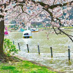 Il pleut dans mon coeur comme il pleut des pétales  dans ma vidéo 360  https://youtu.be/0YTXFCwth7U  #桜 #花見 #東京 #上野 #hanami #sakura #japon #tokyo #ueno #emerveillement #nature #cerisier -- #rosalys http://rosalys.net/
