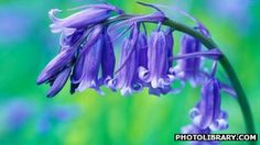 Native Bluebells under threat from a hybrid