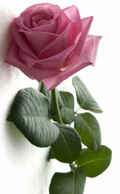 Perfectly design of a rose Beautiful Flowers Wallpapers, Beautiful Rose Flowers, Exotic Flowers, Amazing Flowers, My Flower, Pretty Flowers, Flower Phone Wallpaper, Flower Wallpaper, Nature Wallpaper
