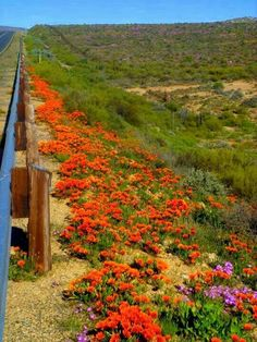 Next to road Rock Flowers, The Republic, Botanical Prints, Wildflowers, South Africa, Safari, Landscapes, Rocks, Wildlife
