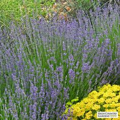 Vera is an outstanding heirloom English Lavender known for its sweetly fragrant oil, dark lavender-blue flower spikes and compact growth habit. Our selection of 'Vera' is also the most cold hardy variety of English Lavender.