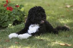 First dog Bo enjoys a nap in a shady spot on the South Lawn of the White House in Washington, Wednesday, June 8, 2011. The official start of summer is still two weeks away, but much of the nation is sweating through near-record temperatures, with heat advisories and warnings issued across the Northeast, mid-Atlantic and upper Midwest.  (AP Photo/Carolyn Kaster) via @AOL_Lifestyle Read more…