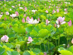 桃園蓮花季即將登場 觀音蓮花朵朵盛開  From大台灣旅遊網