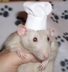 OMGWTFBBQ: Costumes For Your Pet Rat | Incredible Things... RATATOUILLE