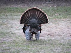 Eastern turkey from behind with tail fanned out