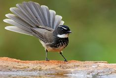 The white-spotted fantail, (R. albogularis)