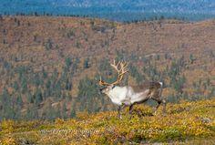 Autumn colors Kiilopää Inari Lapland