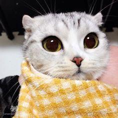 """From @hana__kitty: """"Banana kitty"""" #catsofinstagram"""