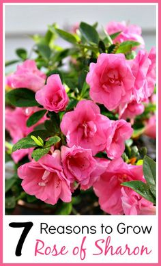 Rose of Sharon is an easy to grow and beautiful perennial! Plus it has many…
