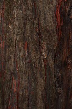 Calocedrus decurrens - pazerav sbíhavý