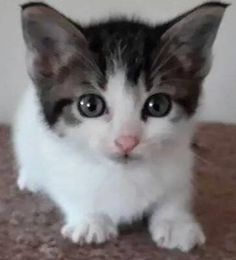 Foster is an adoptable Domestic Short Hair-white, Tabby - Brown Cat in St. Clair Shores, MI Foster is a sweet, playful, adorable little guy that came to us as a stray with his siblings.   ... ...Read more about me on @petfinder.com
