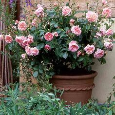 Follow our long-term maintenance plan to keep container-grown roses healthy and delivering beautiful blooms for years to come.