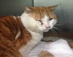 +++ SUPER #URGENT !! +++   2 B DESTROYED 2day Nov./3/2014  @ High- #KillShelter in #Brooklyn Center #NYC #USA   >> PLEEZ HELP 2 SAFE A LIFE BY #ADOPTION or #SPREADING DA NEWZ << ♡♡♡ #WLF  My name is MR SUNSHINE. My Animal ID # is A1018090. I am a male white and org tabby domestic sh. The shelter thinks I am about 5 YEARS old.  I came in the shelter as a STRAY on 10/19/2014 from NY 11423, owner surrender reason stated was STRAY. I came in with Group/Litter ‪#‎K14‬-199003.  MOST RECENT MEDICAL…
