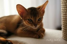 abyssinian kitten 02