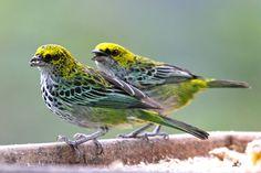 Foto saíra-pintada (Tangara guttata) por Juan Martinez | Wiki Aves - A Enciclopédia das Aves do Brasil