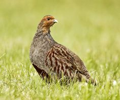 Suffolk looks to be doing well for Grey Partridge Grey Partridge, Grouse, Game Birds, Quail, Bap, Bird Species, Applique, Pictures, Action