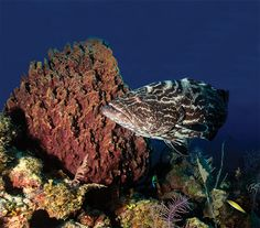 Along Cuba's Coast, The Last Best <br>Coral Reefs in the Caribbean Thrive-- e360 Gallery