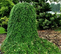 Tsuga heterophylla 'Thorsen's Weeping' Dwarf Western Hemlock with rich, emerald green foliage that is arranged densely on the procumbent branches of this extraordinary small hemlock. When staked, the