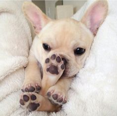 """I like to smell my feet"", French Bulldog Puppy ❤"