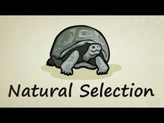 Great animated video on the process of natural selection - perfect for the evolution section of Bio 3201 (senior biology, here in NL)