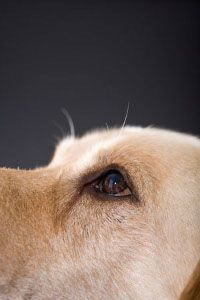 Dog Eye Infection- Make a cup of hamomile tea. Allow it to cool. Dunk a cotton ball in the tea., & clean infected eye with it!