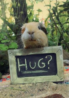 I would totally hug this guinea pig!!!!!!!!!!!!!!!!!!