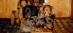 USA: Urge the USDA not to outsource puppy mill inspections. Puppy Mill Image Legislative Alert