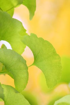 ginko leaves. yellow & green. See the coolest #Art installations in Manhattan on https://www.artexperiencenyc.com