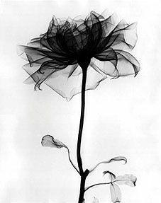 x ray dandelion petal - Buscar con Google