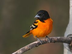 The Orioles family is now enjoying the backyard feeders.  Beautiful birds.