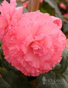 Begonia 'Ruffled Pink' - A very girly Begonia for your shady spot.