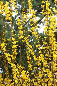 Forsythia.  One of spring's splendors here.  Vancouver, WA.  03/2013.