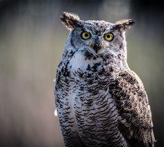 "siyahalbatros: "" Great Horned Owl - Bubo Virginianus """