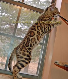 WildTrax Exotics   Bengal Cats Bengals Illustrated Directory