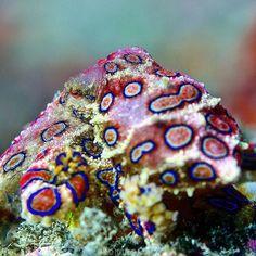 Well and sometimes even the blue ring octopus can be shy and a flash a bit too :) .. .. .. #scuba #scubadiving #scubalife #diving #blueringoctopus #savetheocean #ocean #discoverocean #octopus #padangbai #bali #balidiving #travel #padi #underwaterphotography #photography #macro_secrets #macro #naturelovers #instagram #ring #blue #okdiversbali #okdivers #wonderfulindonesia