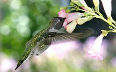 Leeman Murphy - hummingbird wallpaper: images, walls, pics - 1920x1200 px