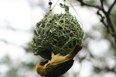 This weeks #frifotos theme is balls! So here is a weaver bird from South Africa.