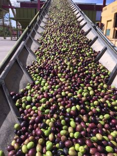 Early Harvest olives