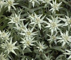 Edelweiss Planta Medicinal que cresce nas montanhas, possui efeito antioxidante e pode ser encontrada em creme ou loções.  Edelweiss