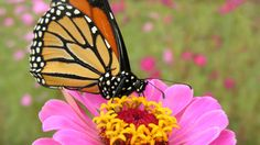 How have the Monarch butterflies fared in the last year? The counts are in and they're doing a bit better, though there is still much to be done. Gardeners can help!...