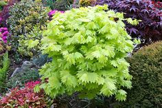 Acer shirasawanum 'Aureum' - Golden leaf Full Moon Japanese Maple in spring. by Four Seasons Garden, via Flickr