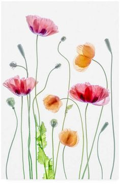 Poppies 1 Poster in der Gruppe Poster / Botanik bei Desenio AB Poppies by Mandy Disher - Photo 159383019 - by MandyDisher Still Life Photography Watercolor illustrations picture Magnolie by LISIZA Watercolor Cards, Watercolor Illustration, Watercolour Painting, Watercolor Flowers, Simple Watercolor, Tattoo Watercolor, Watercolor Landscape, Watercolor Animals, Watercolor Background