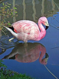 Andean Flamingo | WWT - Slimbridge - Andean Flamingo | Flickr - Photo Sharing!